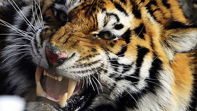 В барнаульском зоопарке тигра напал на девочку