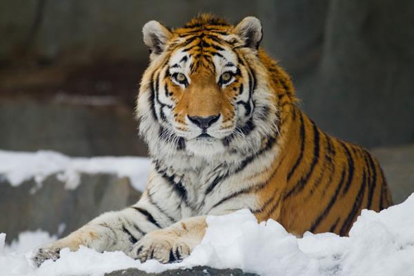 WWF составил рейтинг кошачьих России по их численности