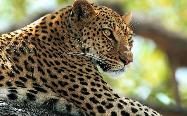 Леопарды вымирают: ученные бьют тревогу