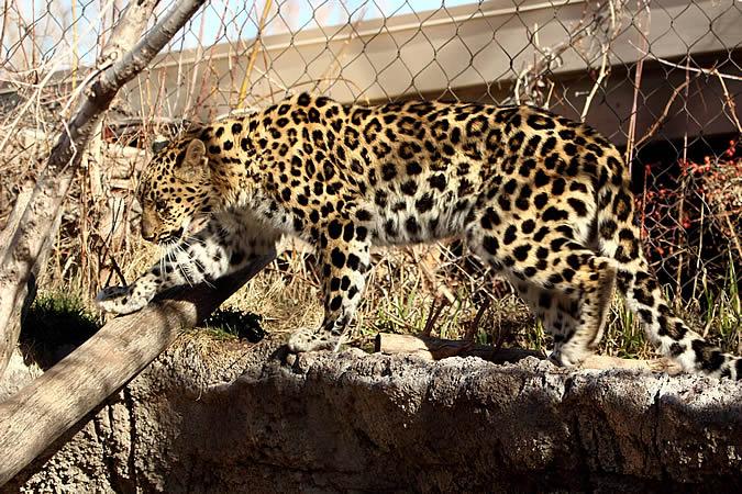 В Солт-Лейк-Сити леопард вырвался из вольера