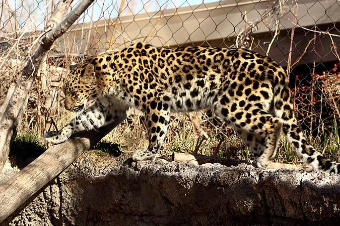 salt-lake-city-leopard