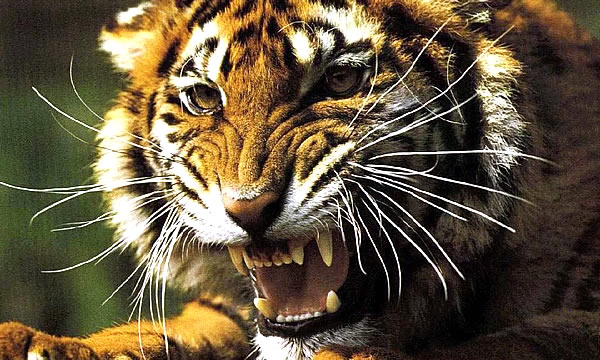 Тигр терроризирует село в Приморье