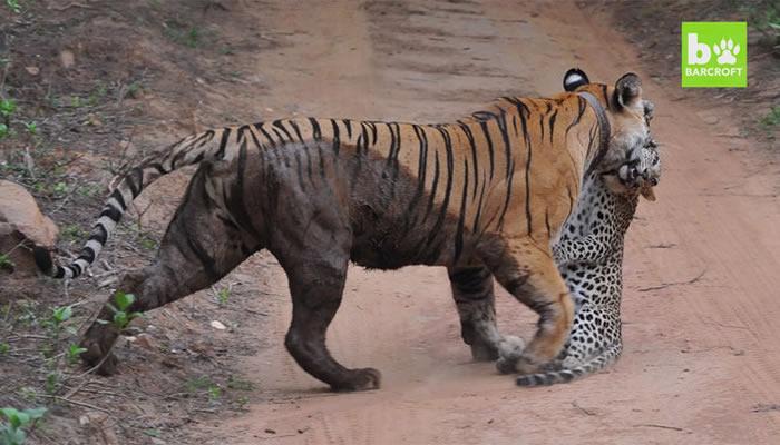 бой тигрицы и леопарда