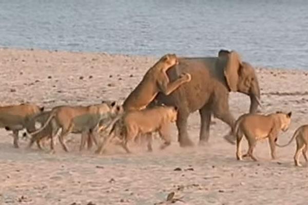 14 львов против одного слона