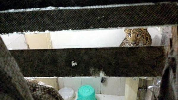 Леопард забрался в гостиничный номер в Индии