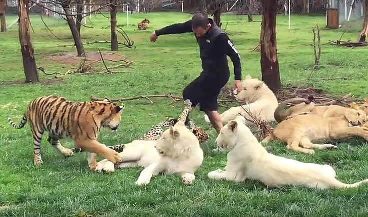 Тигр спас человека от нападения леопарда