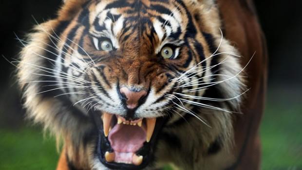 Атака тигра, запечатленная на камеру