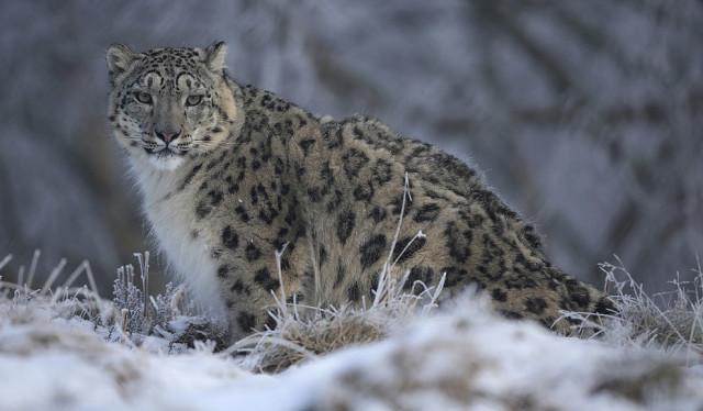 Cнежный барс больше не находится под угрозой исчезновения