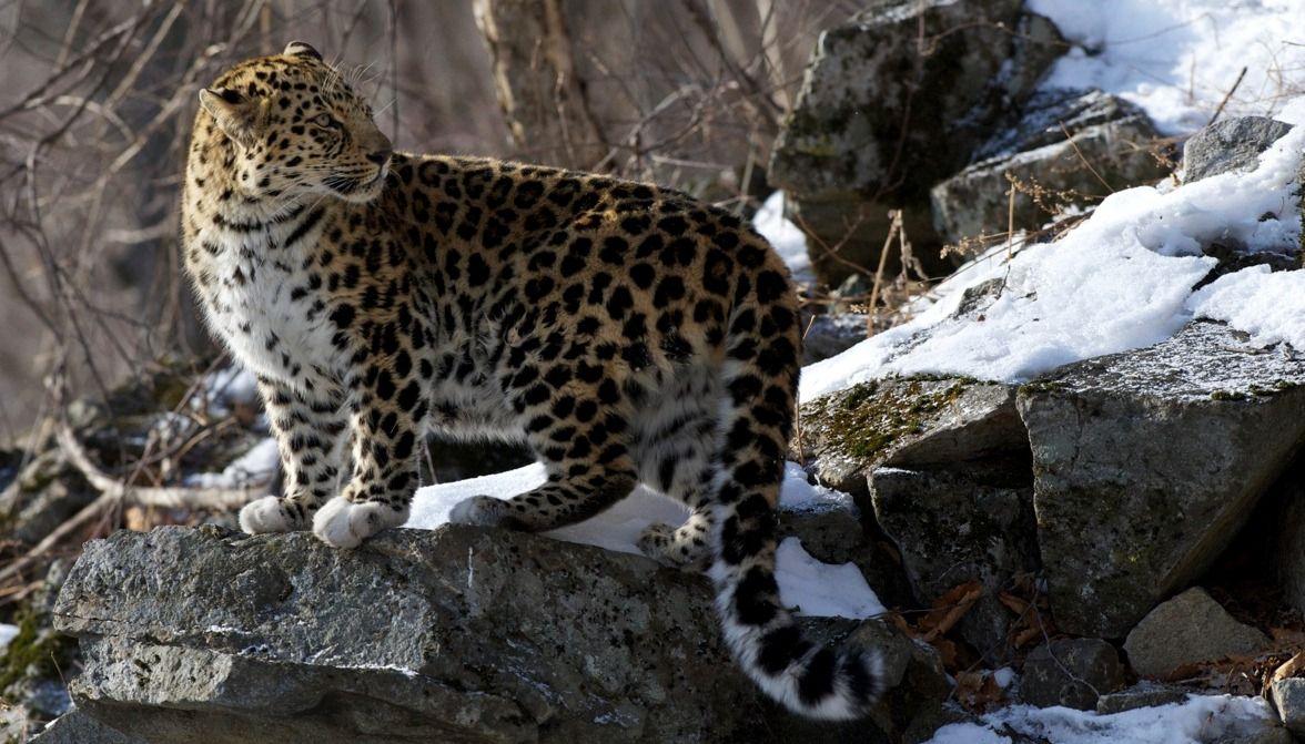 В Приморском крае задержали охотников на леопарда