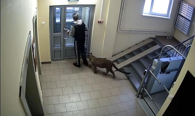 Нижний Новгород: леопард в многоэтажке