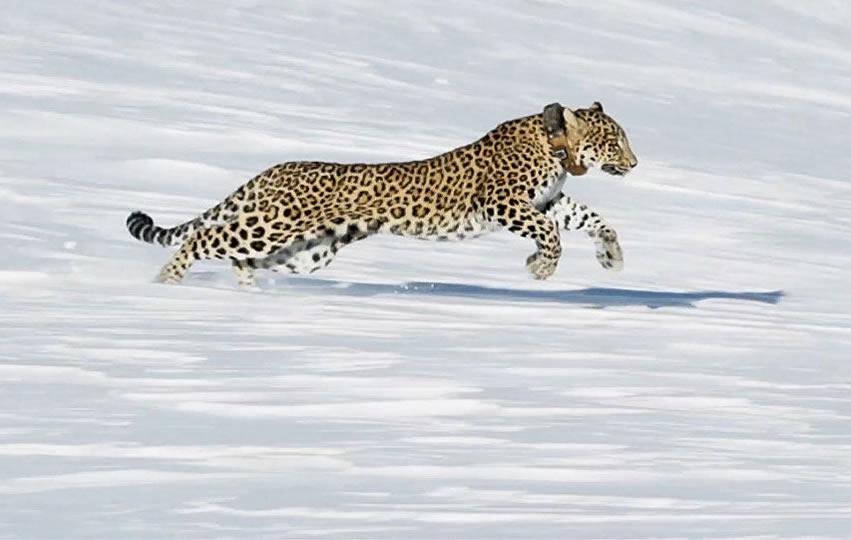 В горах Сочи погибла леопард Виктория