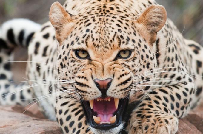 Голодные леопарды полезны для здоровья людей