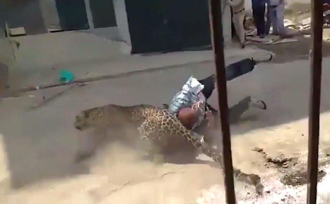 Леопард 3 часа держал в страхе индийский город