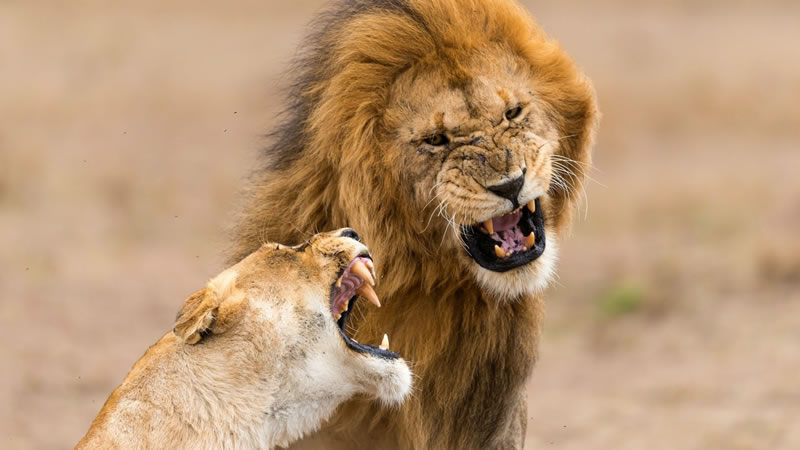 В ЮАР львы съели браконьера