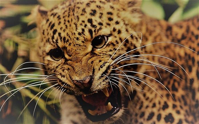 В Намибии леопард напал на туристов из Германии
