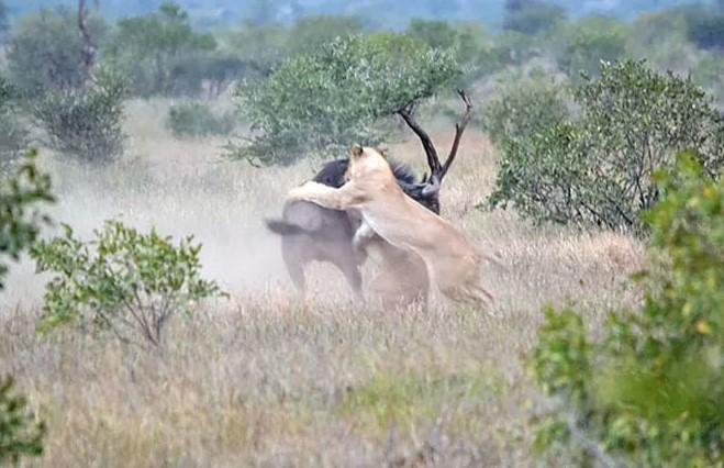 Антилопа гну против двух львиц