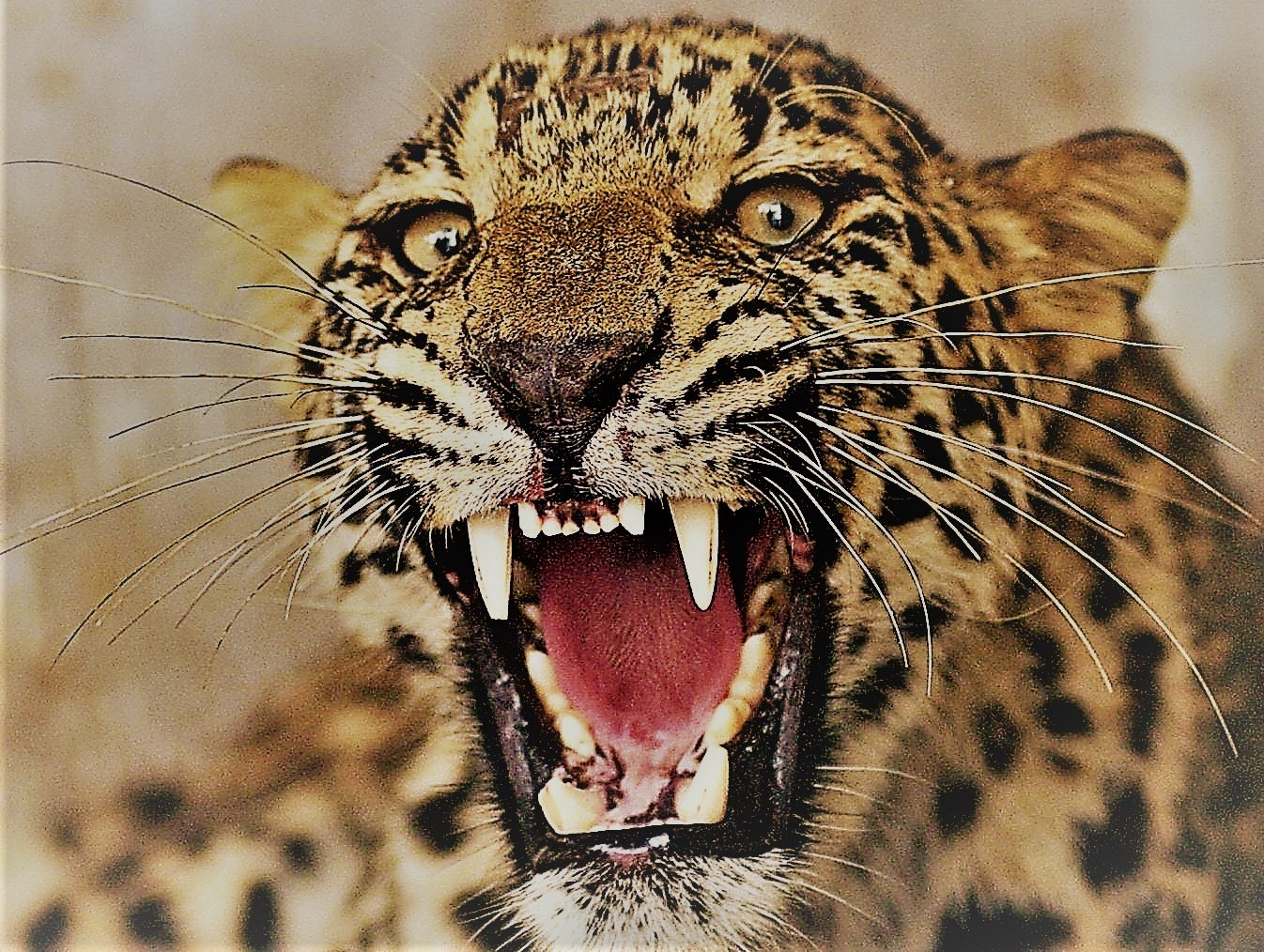 В Уганде леопард съел ребенка