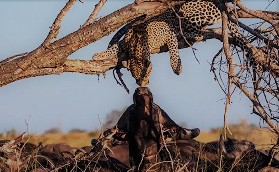 Поцелуй леопарда и буйвола