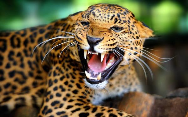 В Индии леопард убил женщину