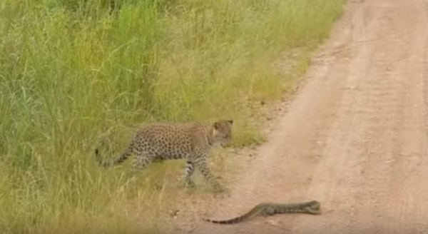 Леопард против варана