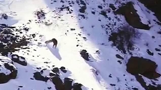 Снежный барс убил барана во время падения с огромной высоты