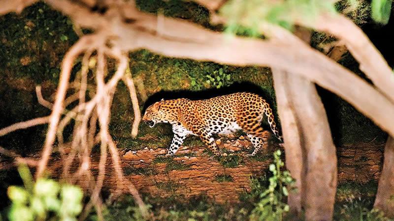 В Индии поймали леопарда-убийцу