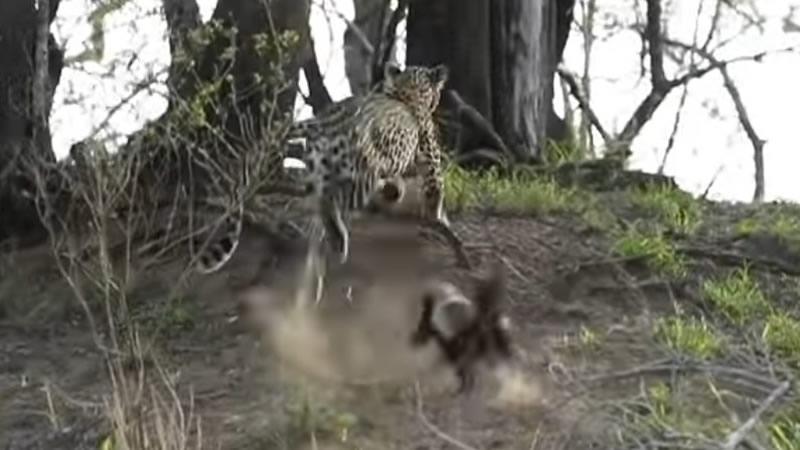 Медоед защитил своего детеныша от леопарда