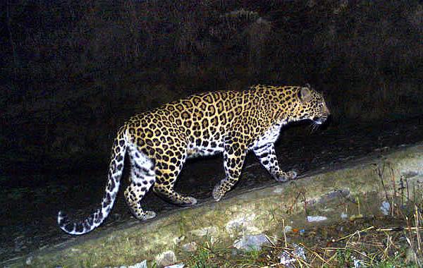 Леопард напал на политика в Индии