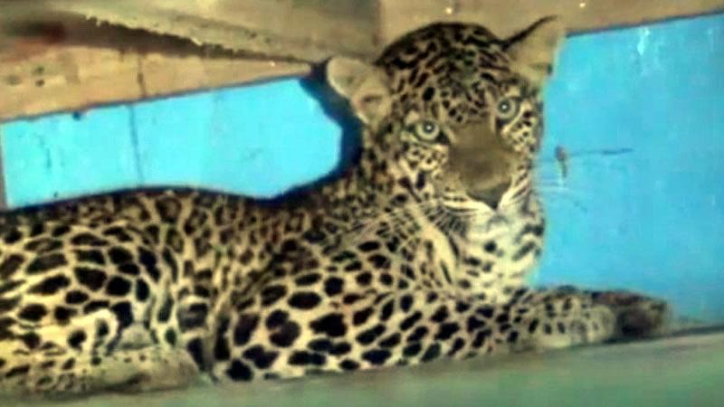 Индийская семья вернулась со свадьбы и обнаружила леопарда в детской спальне