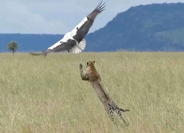 Прыжок леопарда вслед за улетающей птицей