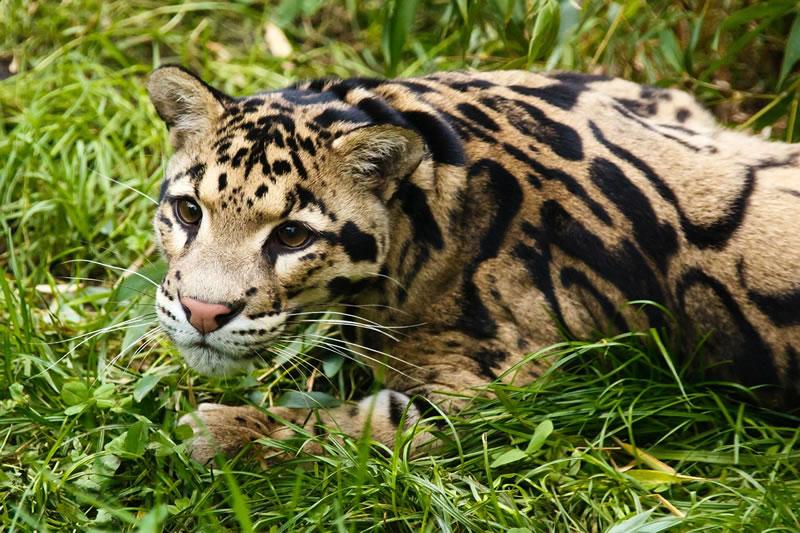 Был замечен редкий дымчатый леопард